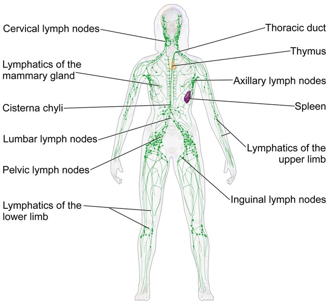 Breast care surgery lymphadenectomy blausen 0623 lymphaticsystem female diagram of female lymphatic system ccuart Images